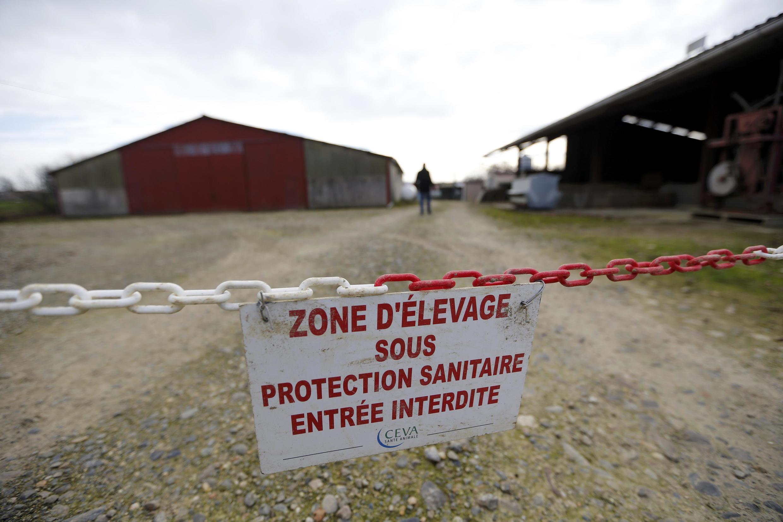 Des canards élevés à l'air libre vont être euthanasiés dans 150 communes situées dans le Gers, les Landes et les Hautes-Pyrénées.