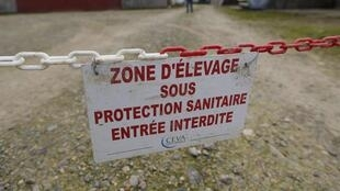 """H5N8禽流感:法國西南四省150座市鎮露天放養的鴨只被執行""""安樂死"""""""