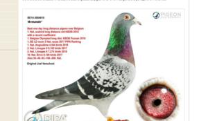 世界最貴信鴿Armando被中國人以125萬歐元拍賣成交2019年3月17日比利時