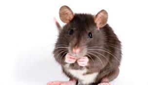 Les rats sont de retour dans les villes.