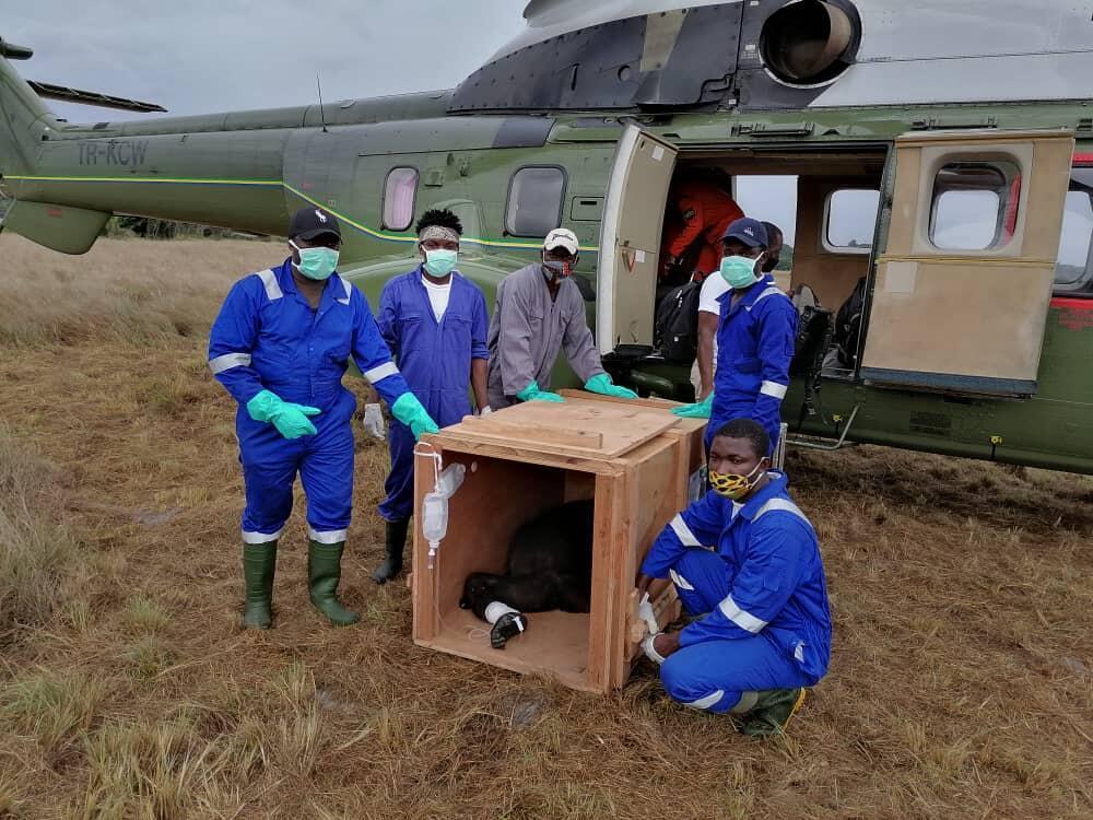 Des soigneurs s'occupent du transport du gorille. Au Gabon, l'animal est intégralement protégé, mais ce cousin de l'homme est braconné pour sa viande, ses mains et son crâne très recherchés par les féticheurs.