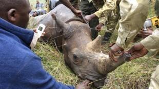 Các nhân viên cơ quan bảo vệ động vật hoang dã Kenya đặt chip định vị cho một con tê giác tại Vườn quốc gia Lake Nakuru, ngày 12/10/2010.