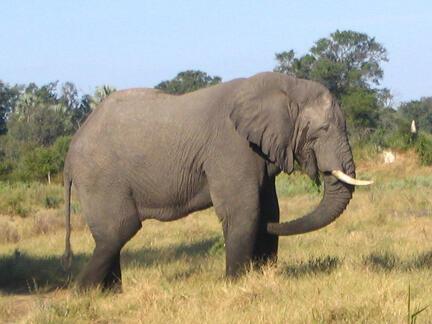 Elephant de savane d'Afrique.