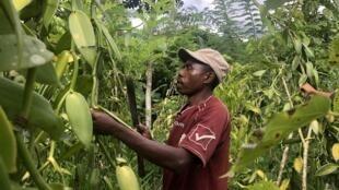 Gilbert Raveloarison, cultivateur de vanille à Marovato, dans le nord du pays, dort dans son champ la nuit pour éviter les vols. Il s'arme d'un sabre et d'un fusil pour faire face aux voleurs de vanille.