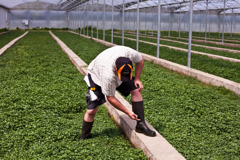 Оливье Барберо на плантации кресс-салата