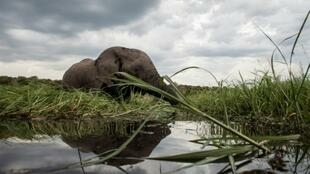 An elephant in the Chobe river in Botswana, which has offered nearly 300 elephant hunting licenses for the 2021 season.