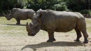 法國一家動物園的犀牛近照