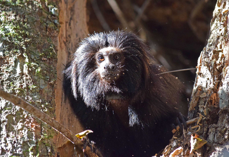 O mico-leão-preto é uma das centenas de espécies brasileira que correm risco de extinção.