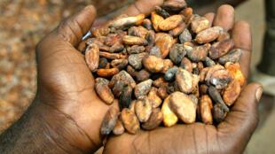 Un acheteur de fèves de cacao examine la qualité de la marchandise, destinée à l'exportation, à Guiglo, une ville de l'ouest de la Côte d'Ivoire.