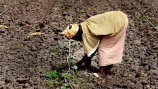 Une femme travaille dans son champ à Djilakh, à 80 kilomètres au sud de Dakar au Sénégal.