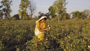 Cueillette de coton en Inde