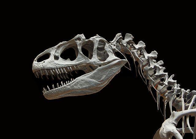 Allosaurus fragilis, Allosaure, jurassique supérieur (Malm, à peu près 150 millions d'années avant le présent), crâne et vertèbres, moulage d'un specimen de l'Utah (Etats-Unis), Galerie de paléontologie et d'anatomie comparée, MNHN, Paris.