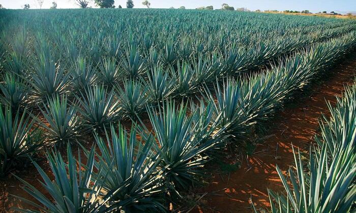 Plantación de agave azul tequilana.