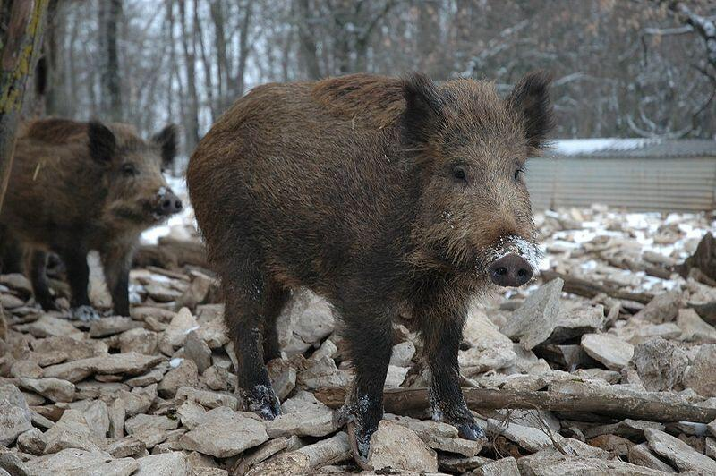 Wild boars in France