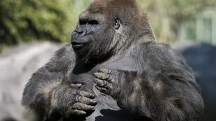 This display is mainly by the male silverbacks who pummel their chests with cupped hands