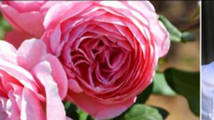 La rosa Anne-Sophie Pic.