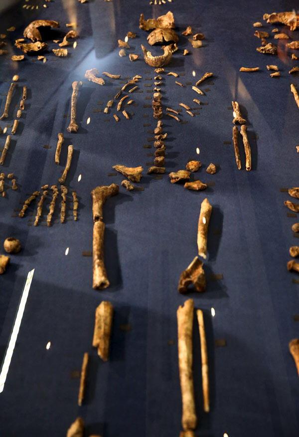 Один из найденных близ Йоханнесбурга скелетов доисторического гоминоида 'Homo naledi'