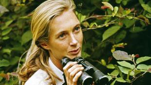 Jane Goodall en sus primeros años en Tanzania, observando a los chimpancés.