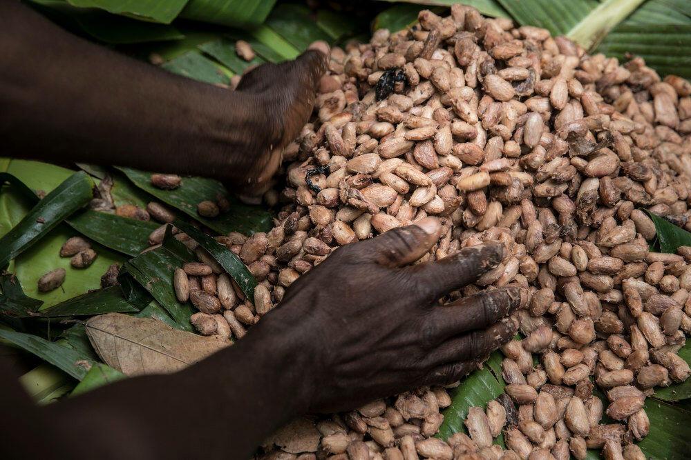 La signature de contrats entre les paysans et l'industrie visent les cultures d'exportation, comme le cacao.