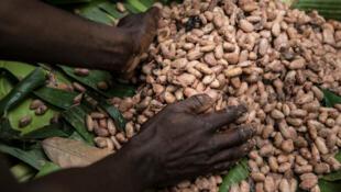 Récolte du cacao en Côte d'Ivoire.