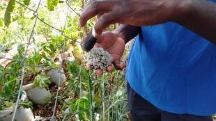 Kenyan farmer Joseph Mbithi hand pollinates his crops after overuse of pesticides killed off many of the bees and birds who do the task naturally.