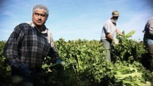 Des immigrés mexicains au travail dans un champ en Californie aux États-Unis. (Photo d'illustration).