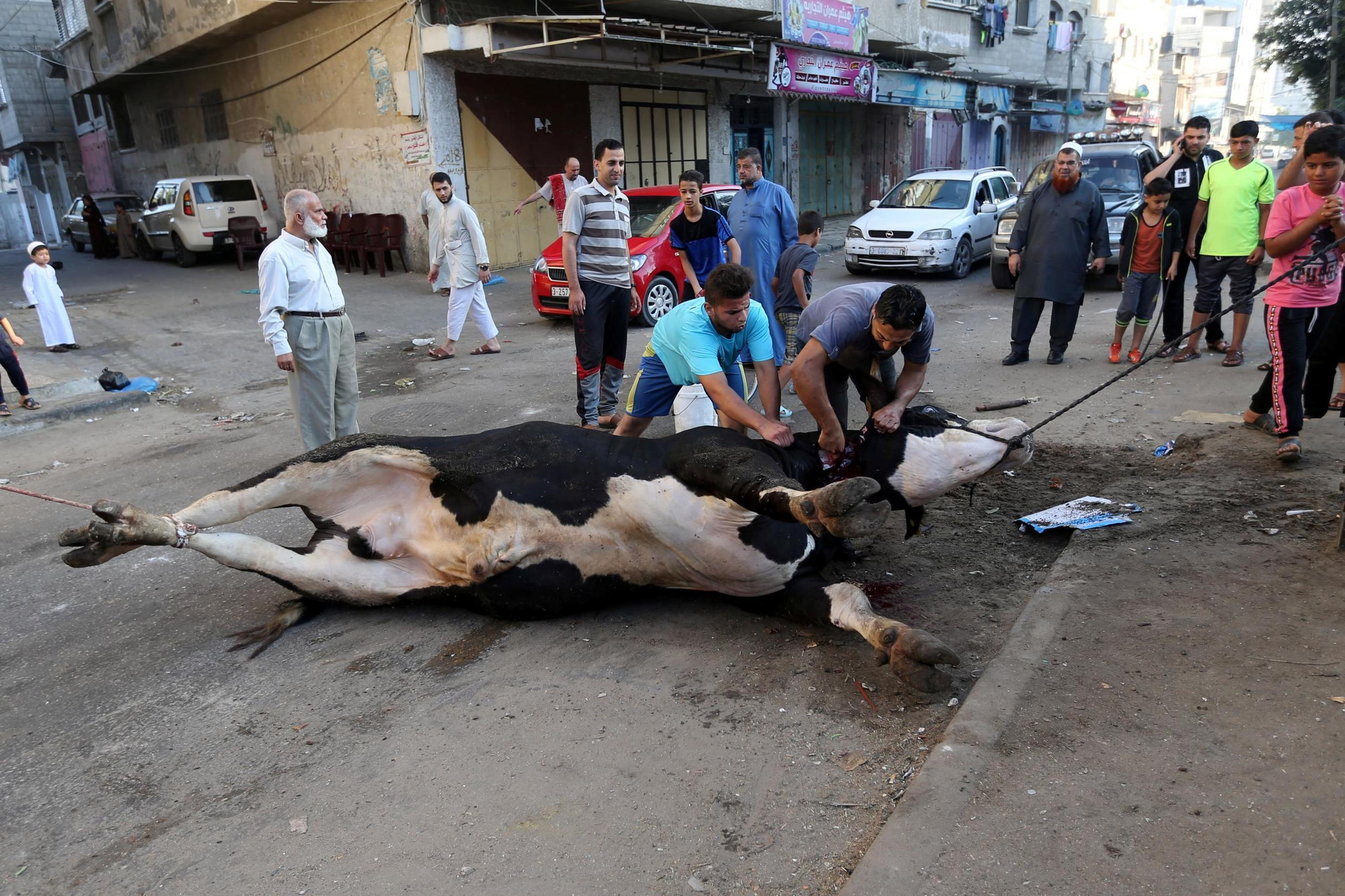 Palestinians slaughter a calf on the first day of Eid al-Adha festival in Khan Younis in the southern Gaza Strip August 11, 2019.