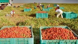 Dans les Pouilles, en Italie, des migrants travaillent dans les champs de tomates.