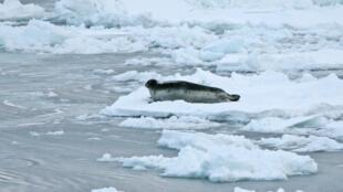 Băng Bắc Cực tan chảy đe dọa cuộc sống các loài động vật.