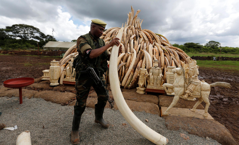 Un ranger du Kenya Wildlife Service (KWS) prépare l'incinération de défenses d'éléphants, dans le parc national de Nairobi, le 28 avril 2016.