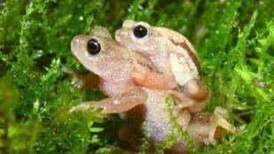 """La """"Nectophrynoides asperginis"""", especie conocida solo en los alrededores de las cataratas de Kihansi, Tanzania, """"desaparecida"""" en 2009."""