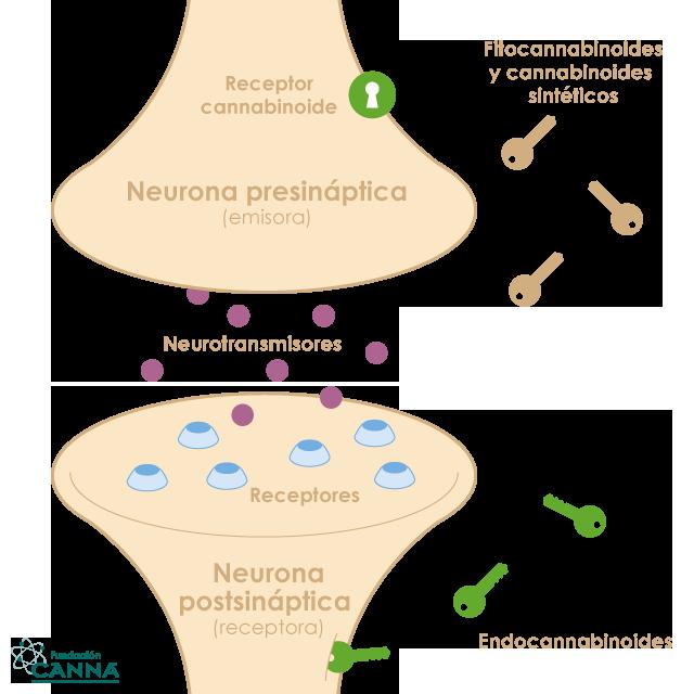 El sistema endocannabinoide.