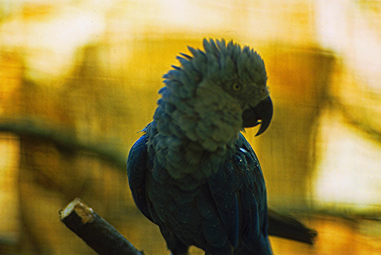 """A ararinha-azul é classificada pela União Internacional para a Conservação da Natureza e dos Recursos Naturais (IUCN) como """"em perigo crítico""""."""