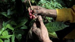 Une plantation de café au Nicaragua attaquée par la rouille. El Crucero, le 9 janvier 2013.