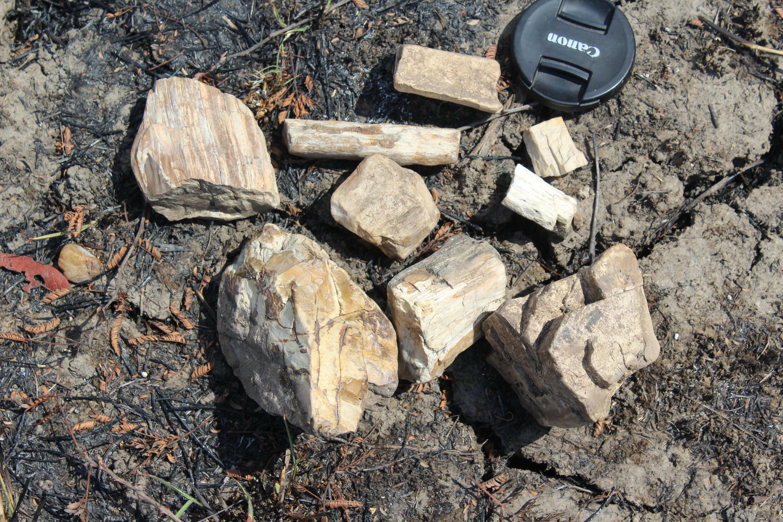 Troncos de árvore fossilizados com mais de 259 milhões de anos.