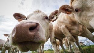 L'association L214 dénonce la pose de «hublots» sur l'estomac de vaches dans un centre de recherche en nutrition animale situé dans la Sarthe. (Image d'illustration)