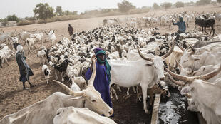 "Many Fulani in Louga have turned to the so-called ""Dolly Ranch"" as a last resort"