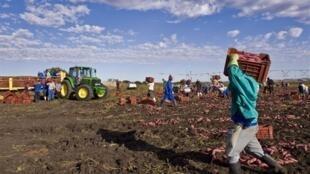 Les employés d'une ferme près de Pretoria récoltant des patates douces.