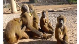 Babouins Papio papio: photo extraite d'une séquence vidéo réalisée par Caralyn Kemp, à la station de Primatologie du CNRS de Rousset.