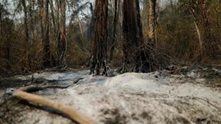 Des cendres recouvrent le sol sur une partie de la forêt près de Santa Monica, dans la commune de Concepción