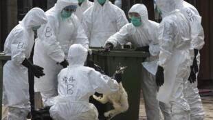 為預防禽流感蔓延香港防疫人員撲殺兩萬隻雞