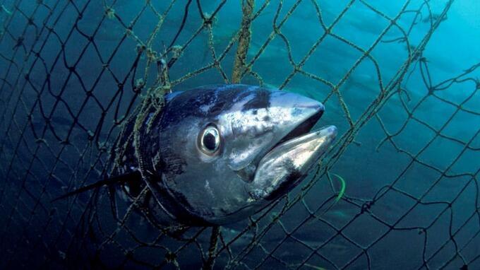 A sobrepesca é um dos grandes problemas identificados pela WWF em relação à extinção de espécies na América do Sul, segundo relatório publicado pela ONG.