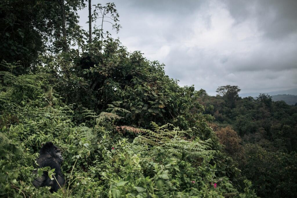 groille forêt rdc kahuzi biega