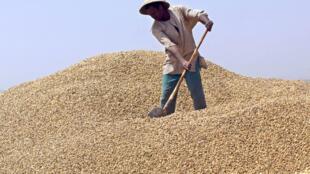 Un ouvrier arrange un tas d'arachide à Lyndiane, à la périphérie de Kaolack, au Sénégal, en 2005.