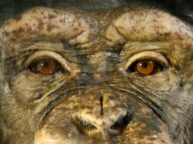 Anfisa, chimpanzé fêmea de 12 anos, vive em um zoológico na Sibéria. (18/10/17)