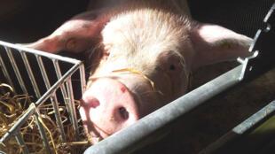 30 millions de porcs sont élevés dans 3 800 fermes au Danemark.