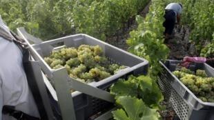 Le raisin mûrit aujourd'hui plus tôt : les baies arrivent à maturité en moyenne 20 jours plus tôt qu'il y a trente ans. (photo d'illustration)