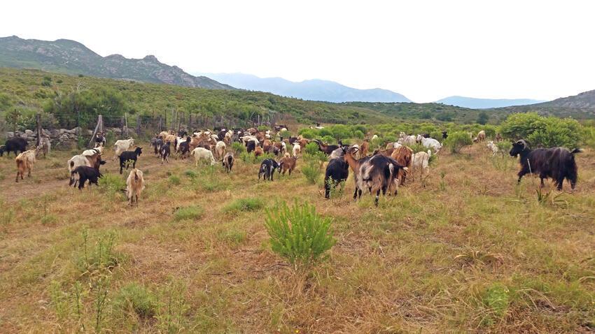 Un élevage de chèvres en Corse