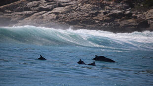 Humpback Dolphins in St. Sebastian Bay, South Africa. The Mozambican research will build on studies done in South Africa