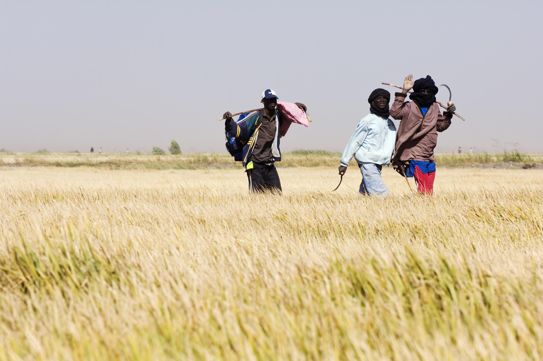Des ouvrières agricoles dans une rizière du Sénégal.